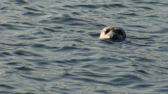 A seal at Belcarra.