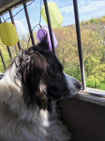 Springtime adventures Border collie looks wistfully through balcony out to sea of spring green woods