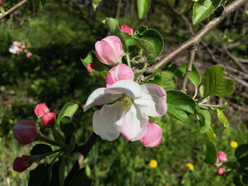 Springtime apple tree blossoms from long ago.