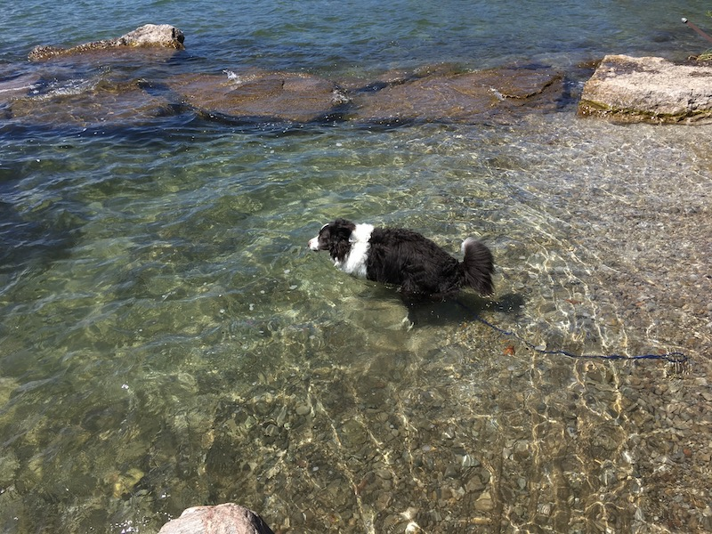 Border collie wading into clear and cold springtime waters of Lake Simcoe