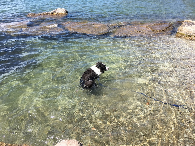Border Collie swimming in cold and clear Lake Simcoe