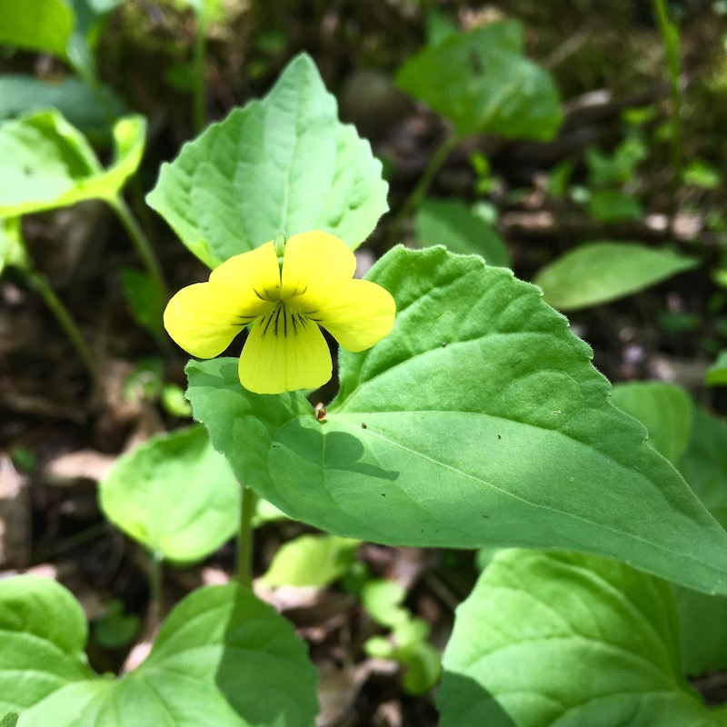 small yellow wildflower with large springtime green leaves in the woods.
