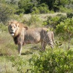 Roamancing the South African Safari – We're Going on a Lion Hunt!