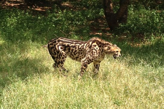 A menacing sounding cheetah at the Ann van Dyk Cheetah Centre.