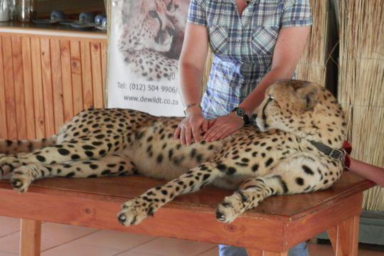 Byron, a Cheetah Ambassador at the Ann van Dyk Cheetah Centre.