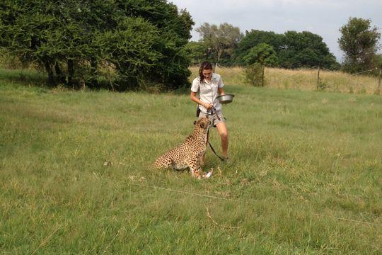 A female cheetah at the Ann van Dyk Cheetah Centre, ready to run.