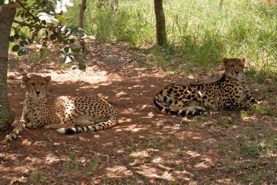 2 cheetahs at the Ann van Dyk Cheetah Centre. The King Cheetah to the right.