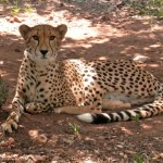 Roamancing South Africa – I Touched a Cheetah!
