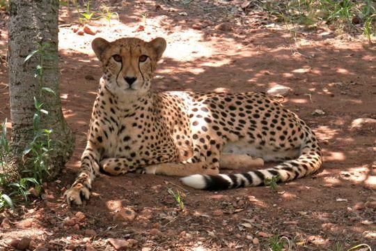 Cheetah at the Ann van Dyk Cheetah Centre.