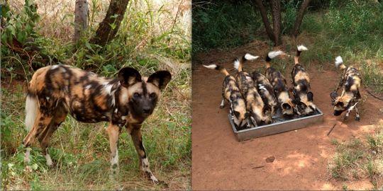 Wild dogs at the Ann van Dyk Cheetah Centre.