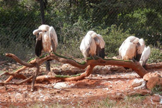 Vultures at the Ann van Dyk Cheetah Centre.