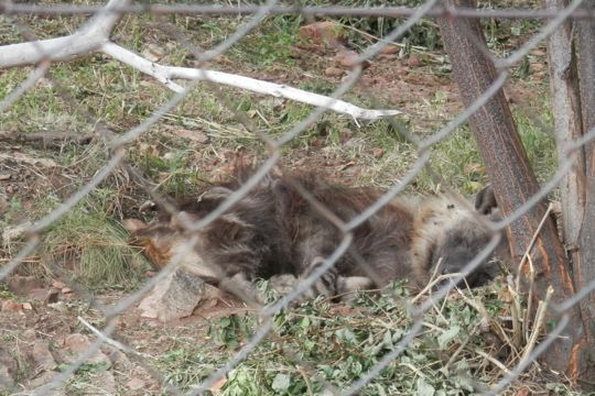 One sleepy hyena at the Ann van Dyk Cheetah Centre.
