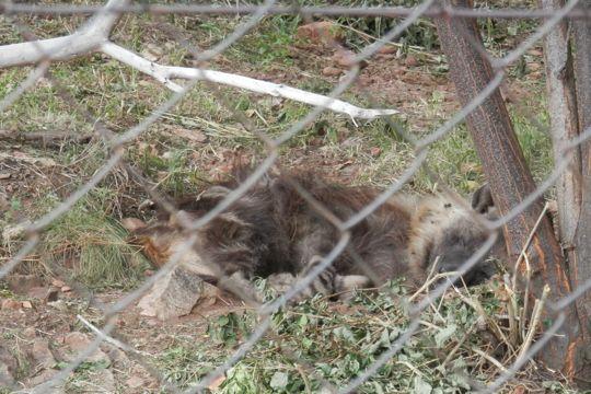 One sleepy hyena at the Ann van Dyk Cheetah Centre.