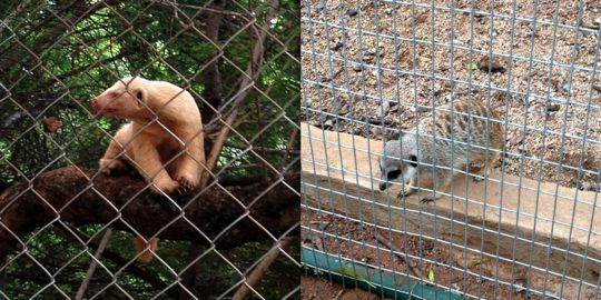 An albino honey badger & Timon the meerkat at the Ann van Dyk Cheetah Centre.