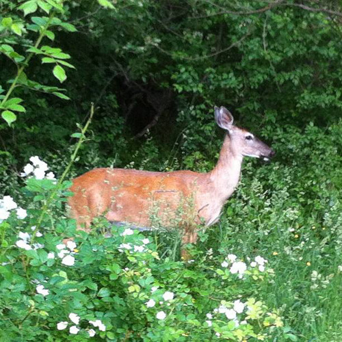 Ontario Deer