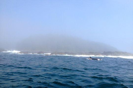 Orcas off of Tofino, BC.