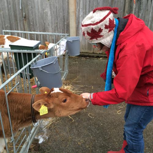 Gruyere Dairy calf.