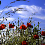 Poppies photographed by Tony Oldroyd