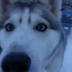 A camera kiss from a handsome husky!