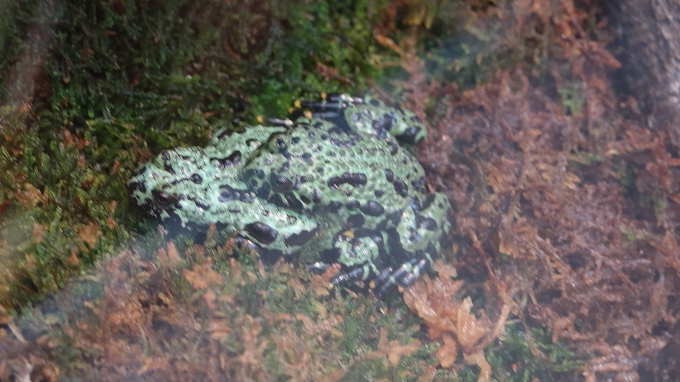 Fire-Bellied Toads Fornicating