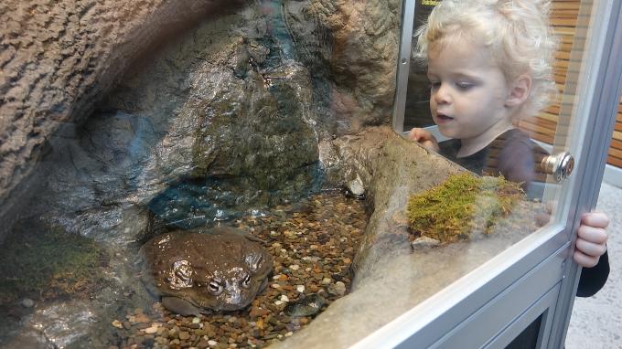 African Bullfrog at the Royal Botanical Gardens in Burlington, Ontario.