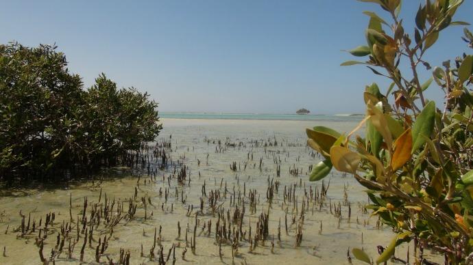 Mangrove Pneumatophores in Wadi El Gamal