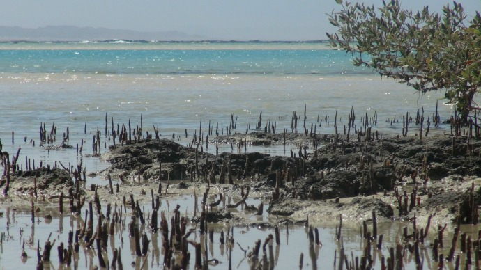 Pneumatophores breathing in nutrients for the mangrove.
