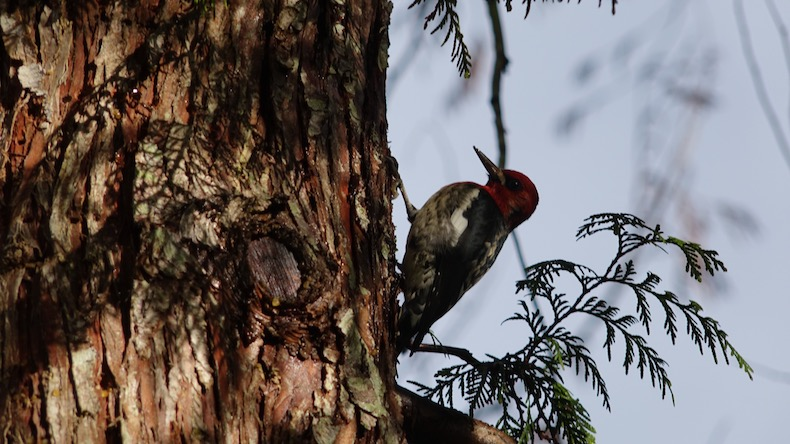 Red Headed Woodpecker at Cusheon Lake Resort on Salt Spring Island