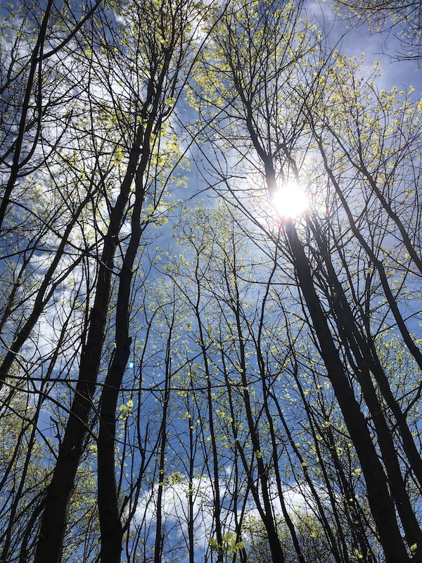 Springtime trees with new green leaves reaching up into clear bright blue Spring sky